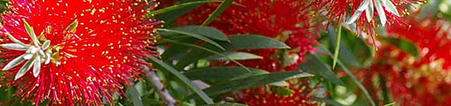 Red bottle brush folliage_cropped